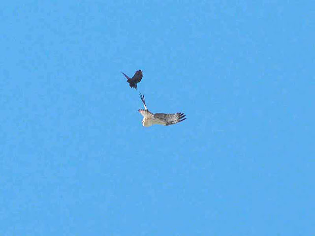 Crow vs Osprey