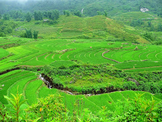 Vietnam, Sapa, rice paddy, rice terrace, rizière
