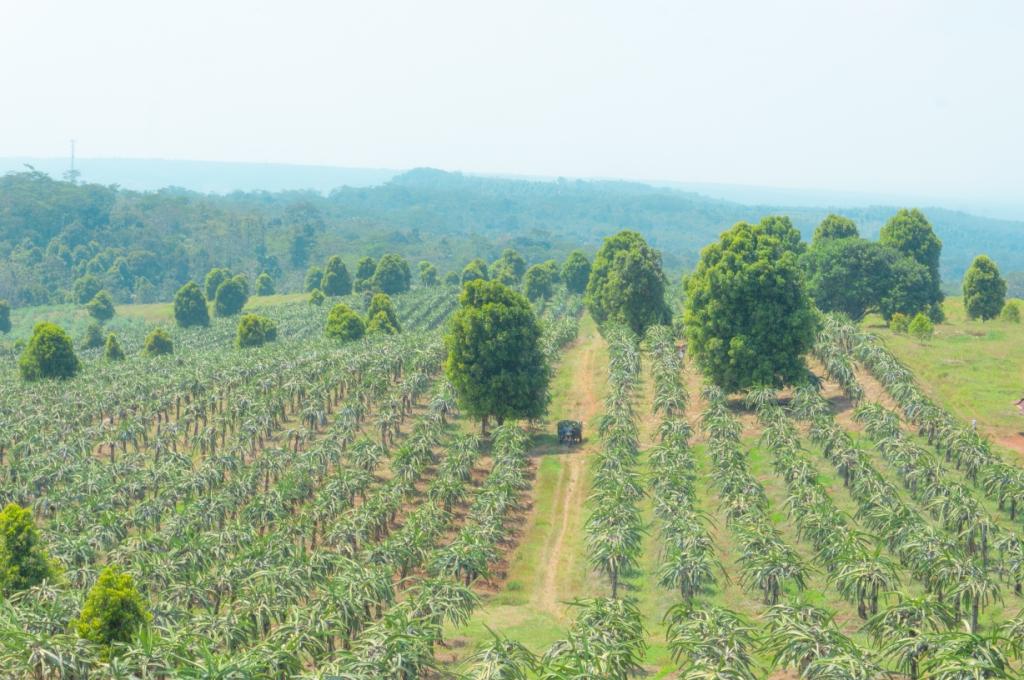 Perkebunan buah naga