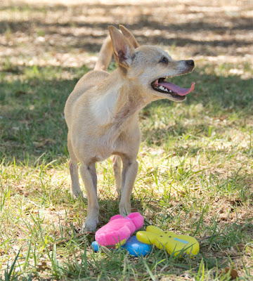 Plush a vinyl squeak toys for small dogs