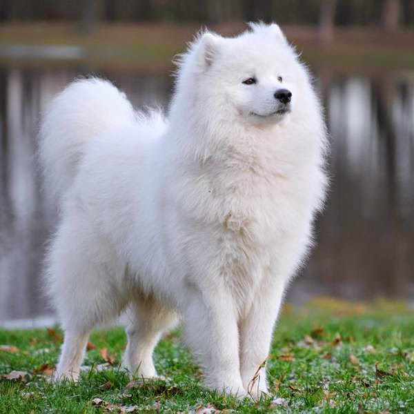 The Most Expensive Dog Breeds - LUV My dogs