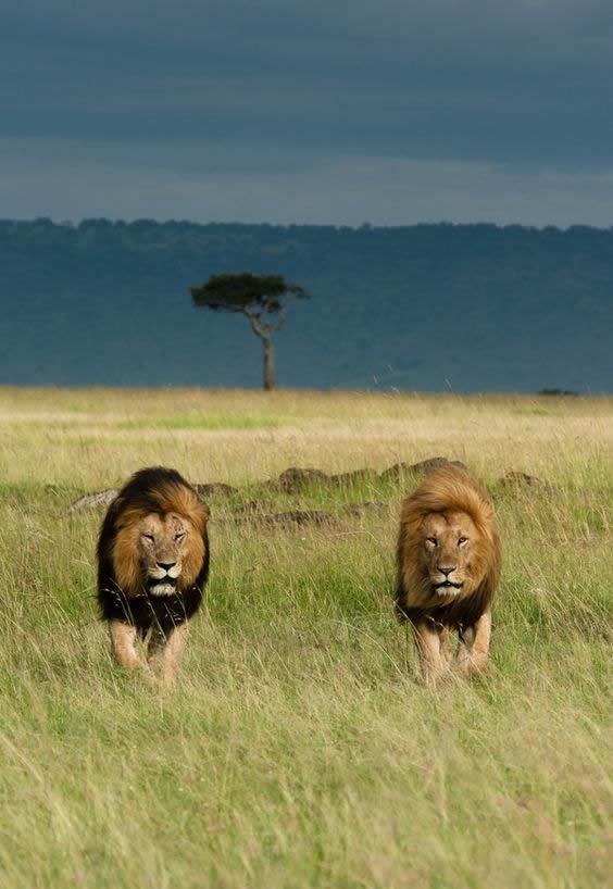 Savanna with lions