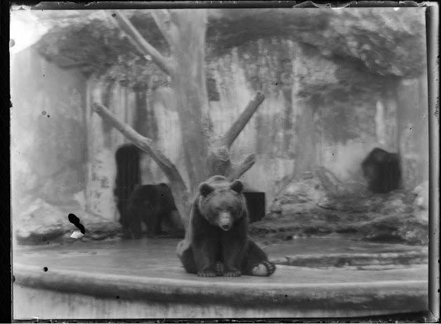 Ein Bär im Zoo - Tierpark Hellabrunn(?) - um 1911