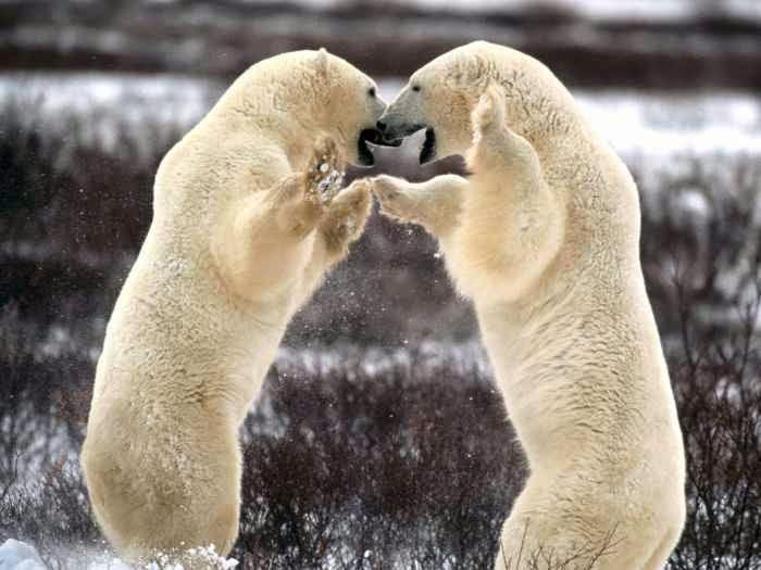 الدب الثلجى ومعلومات عنه