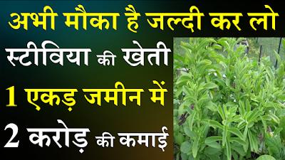 Stevia farming, Stevia ki kheti image,farming, Stevia farming image, Stevia
