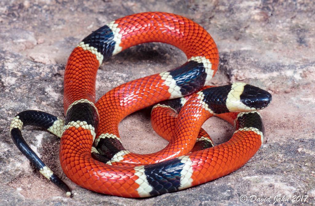 Cobra-Coral (Micrurus corallinus)