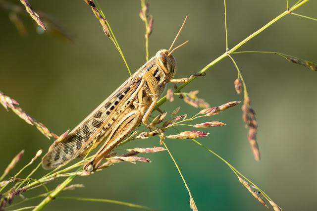 American Bird Grasshopper, LLELA
