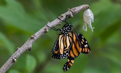 Kupu - kupu keluar dari kepompong - berbagaireviews.com
