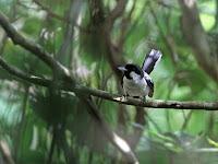 Burung Kehicap Boano, Jenis Langka Endemik Pulau Maluku