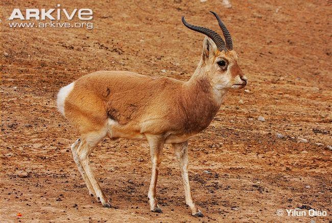 Przewalski´s Gazelle