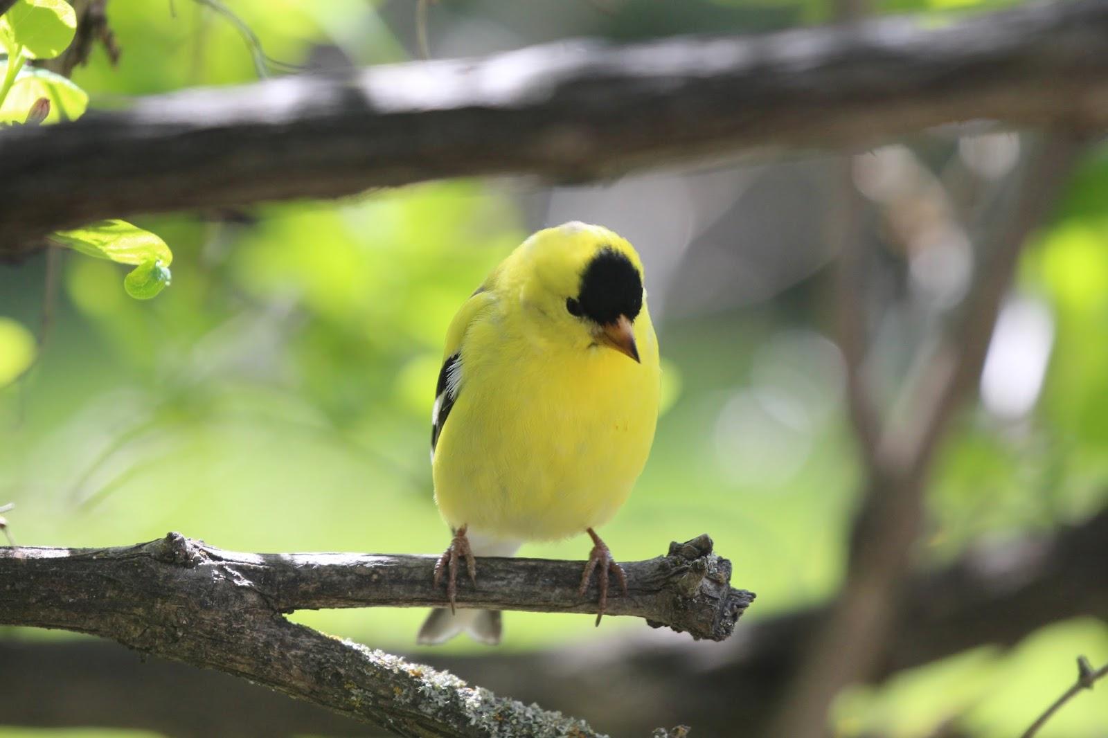 Okanagan Birder: Birds Of Vernon And The