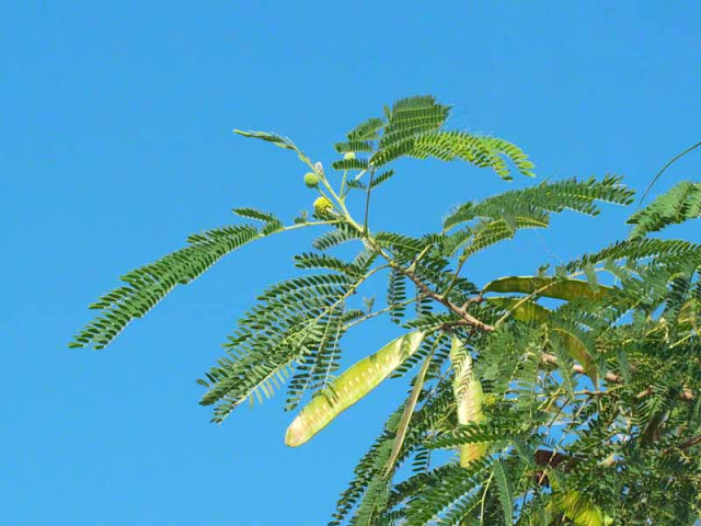 Leucaena leucocphala tree in blue skies, seed, pods