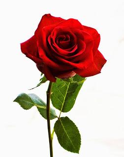Bunga Mawar mempunyai harum yang wangi
