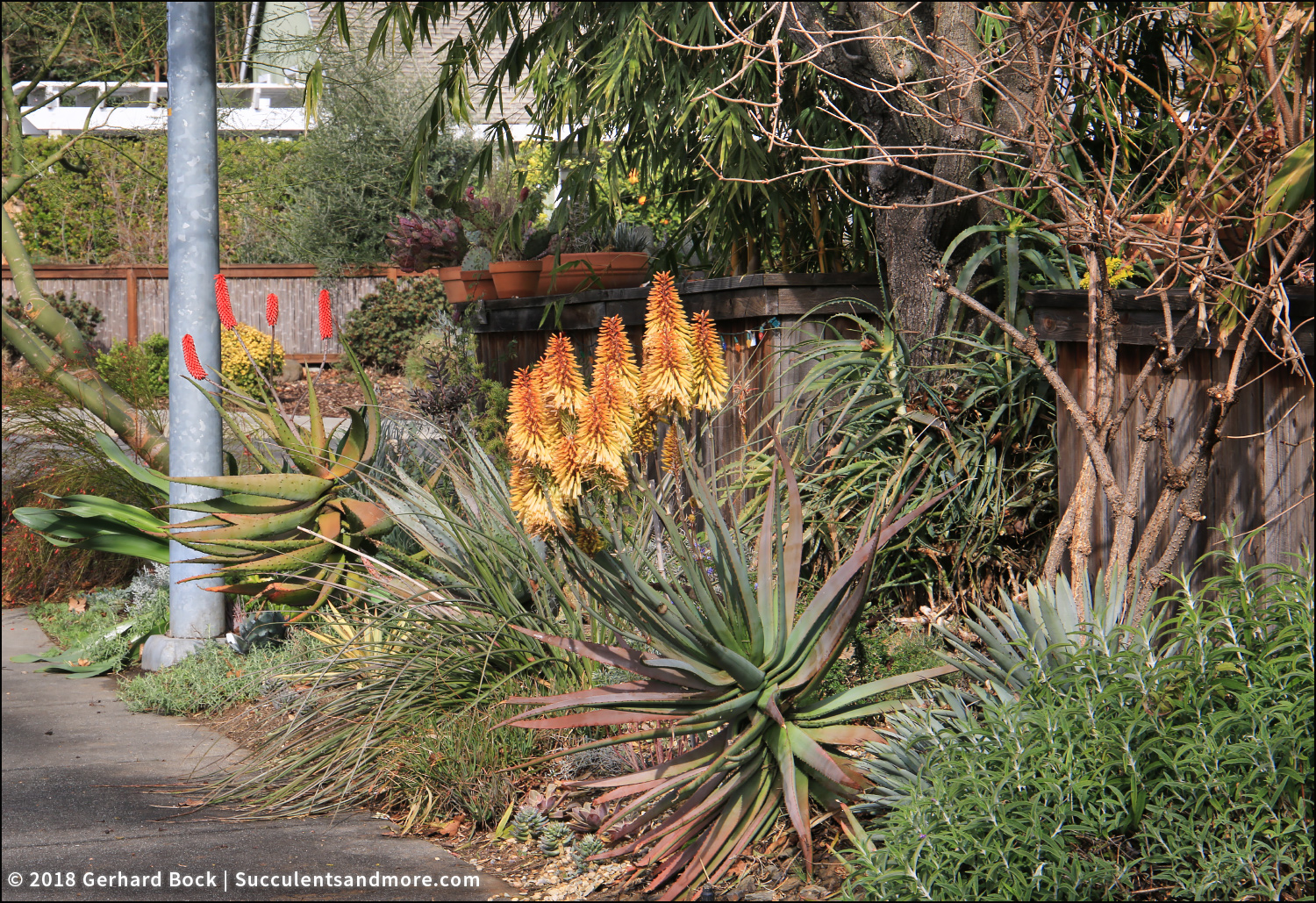 Succulents and More: Our aloes are finally flowering—and how!