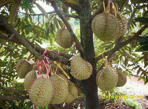 http://tipspetani.blogspot.com/2016/11/panduan-sambung-pucuk-pada-pohon-durian.html