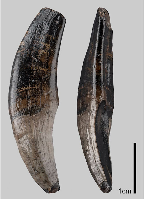 Macaque fossils discovered at the bottom of the North Sea
