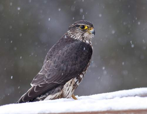 Indian birds - Image of Merlin - Falco columbarius