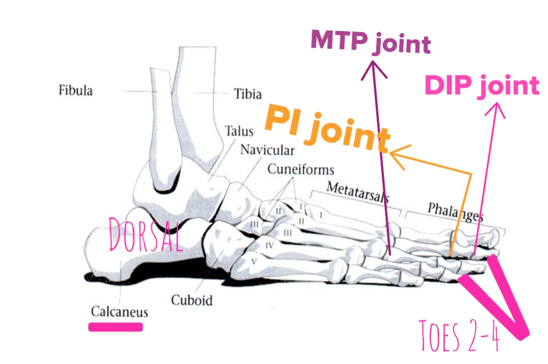 Toe Joints Foot Anatomy