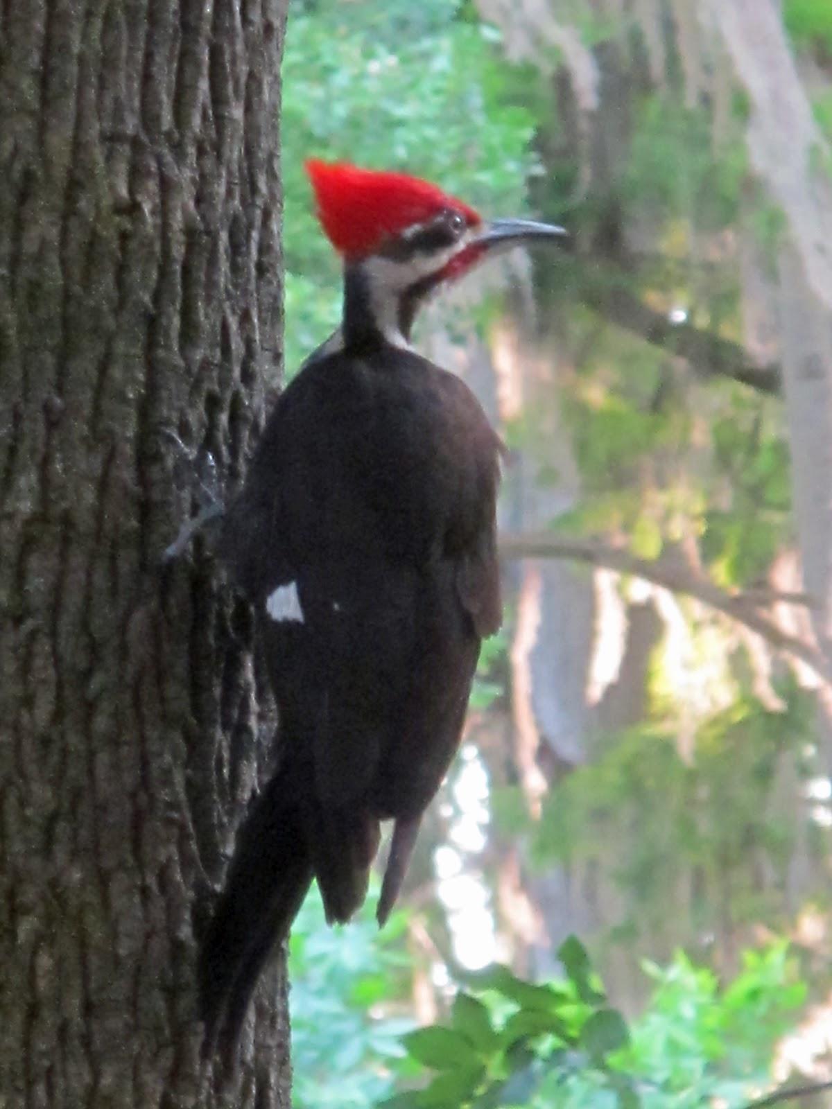 Low Tide Orbit Pileated Woodpecker