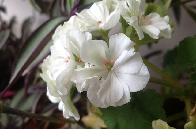 زهور الجيرانيوم
