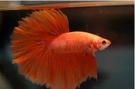 Jenis Jenis Ikan Hias Cupang Dan Harganya Di Pasaran