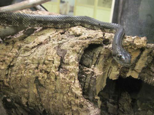 Black Rat Snake - Niagara Butterfly Conservatory