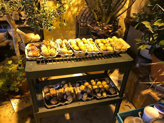 Frühkartoffeln werden vorgekeimt (c) by Joachim Wenk
