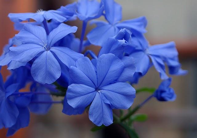 Υποδεχόμαστε το μπλε πλουμπάγκο (Μπλε γιασεμί)!
