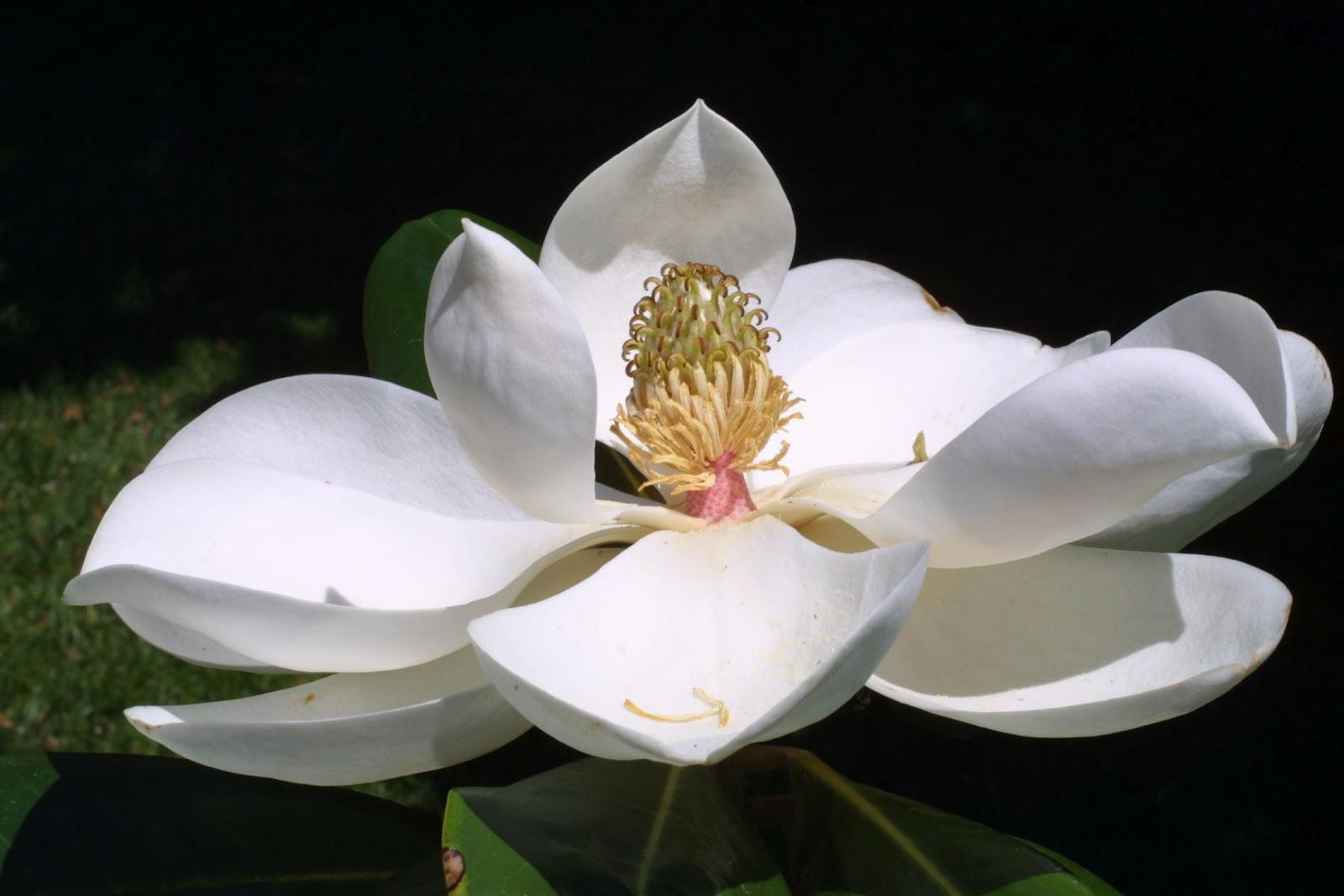 Louisiana_State_Flower_Magnolia www