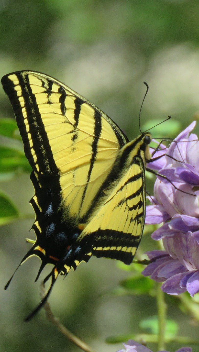 An eastern tiger swallowtail.