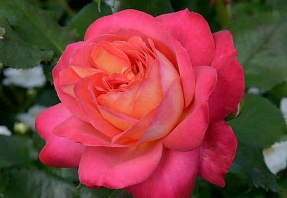 Midsummer сорт розы купить саженцы в Минске фото