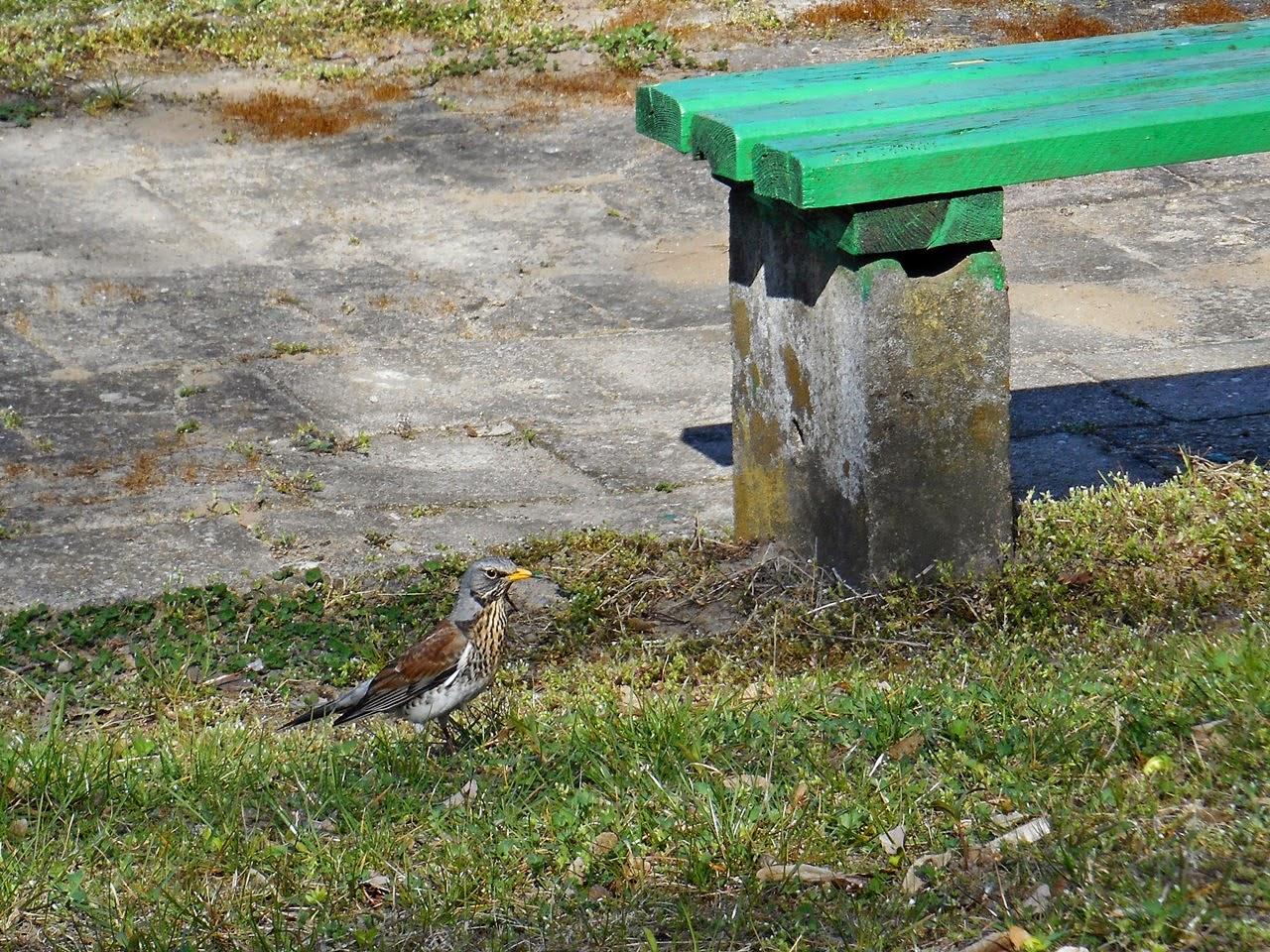 kwiczoł, boisko szkolne, ławeczka, ptak