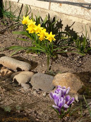 Photo of first flowers to bloom this year, crocus and mini-daffodils ©2019 Tina M.Welter