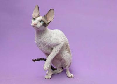 kucing merupakan salah satu jenis hewan yang banyak dijadikan sebagai binatang peliharaan 5 Contoh Deskripsi Tentang Kucing Dalam Bahasa Inggris dan Terjemahannya
