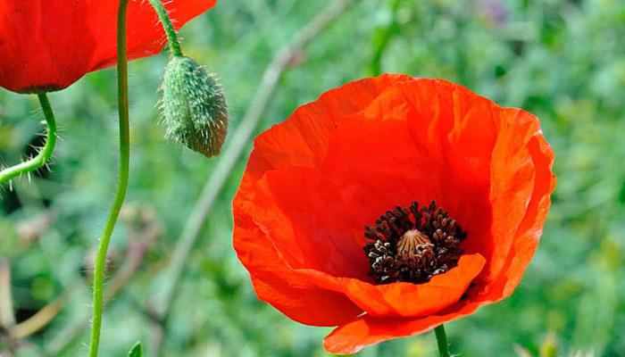 Amapola flor