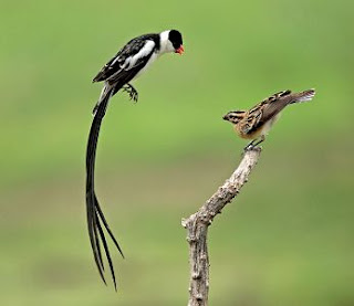 Pin Tailed Whydah sounds