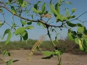 Vinal Prosopis ruscifolia