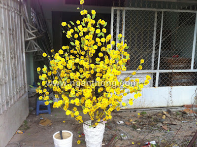 Ban cay mai gia cay dao gia mai dao gai bonsai trang tri tet