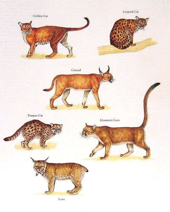 Felinos | Leões, Tigres, Leopardos e Onças