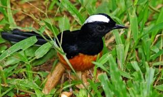 Harga Burung Murai Borneo