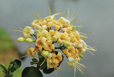 กันเกรา ไม้มงคลดอกหอม พรรณพื้นเมืองของไทย ดอกสวยงาม ส่งกลิ่นหอมแรง