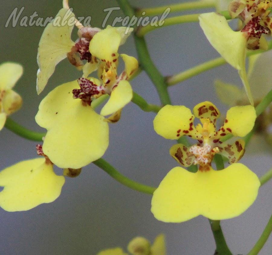 Vista más de cerca de las flores de la orquídea Chelyorchis ampliata