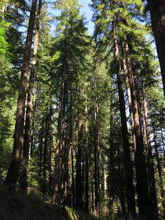 Redwood grove on Aldercroft Heights Road, Los Gatos, California