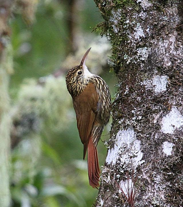 Scaloped Woodcreeper