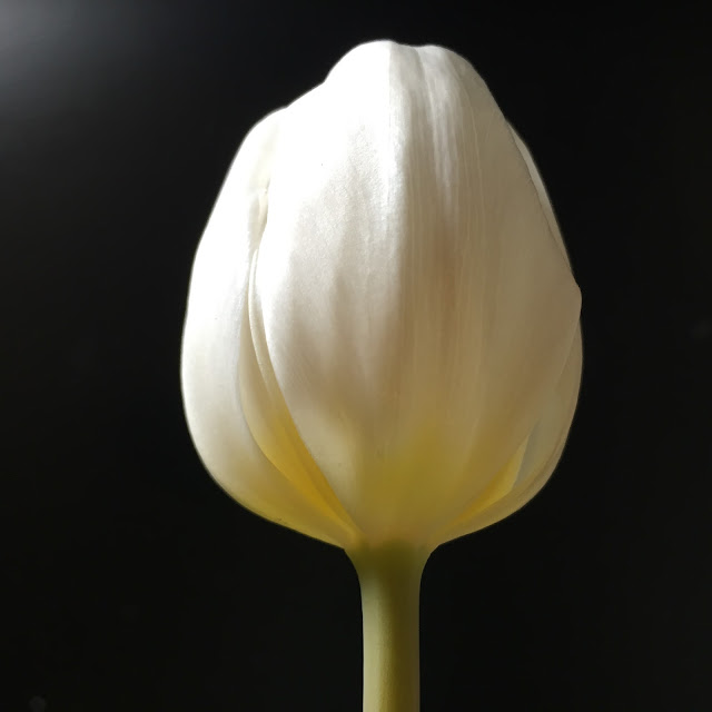 A white tulip on a black background