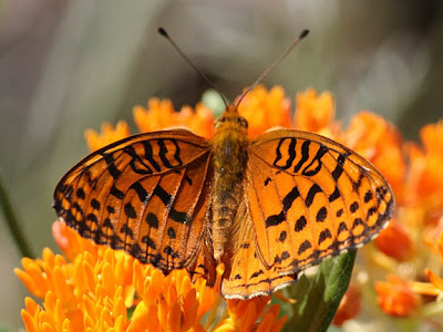 Aphrodite Fritillary on Butterfly Weed