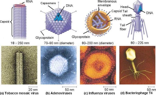 berbagai bentuk kapsid virus
