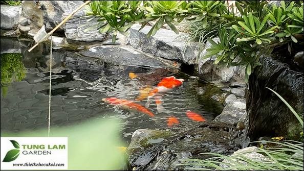 Thiết kế hồ cá Koi nhiệt đới, TungLam Garden, Công ty làm hồ cá Koi