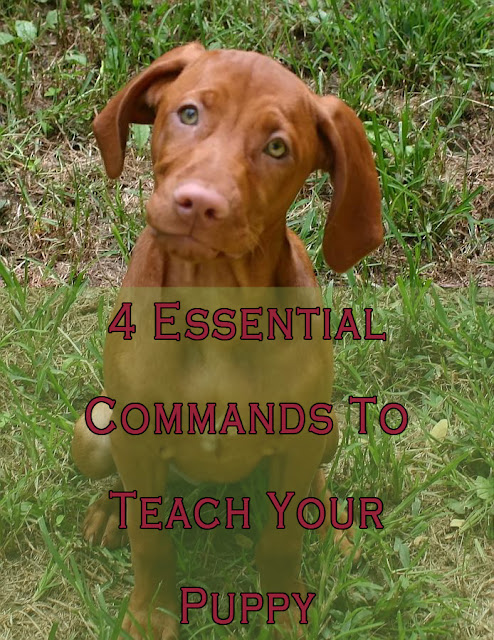 how to teach chihuahua commands