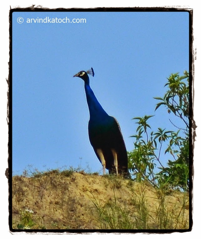 Peafowl,